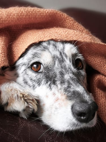Border collie Australian shepherd dog canine pet hiding peeking out from under blanket on couch looking hopeful lonely sick tired bored cute thoughtful uncertain guilty comfortable