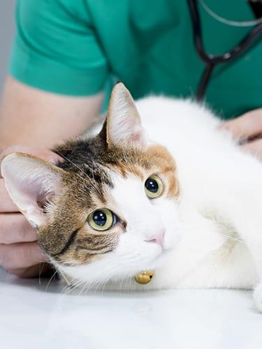 Vet examining cat.