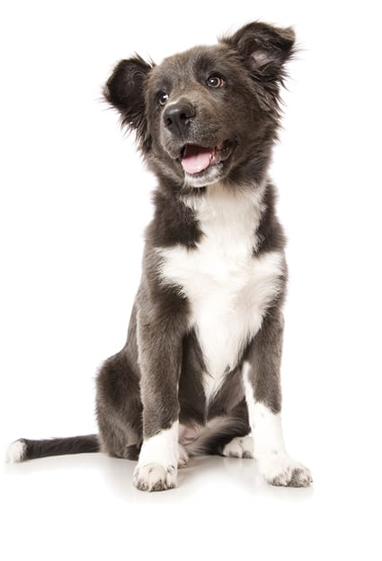 A young pure bred rare blue coloured Border Collie pup isolated on white.