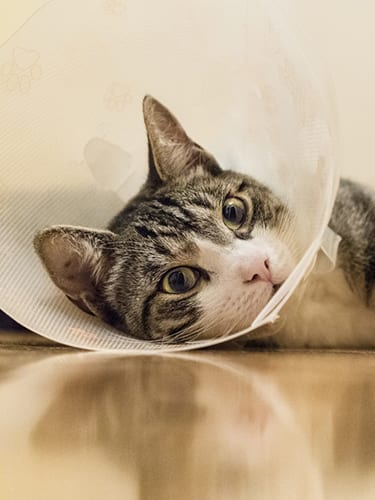 Cat with an e-collar is recovering from knee surgery on the floor.