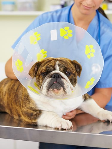 Shot of a vet attaching a cone to the neck of a large bulldog